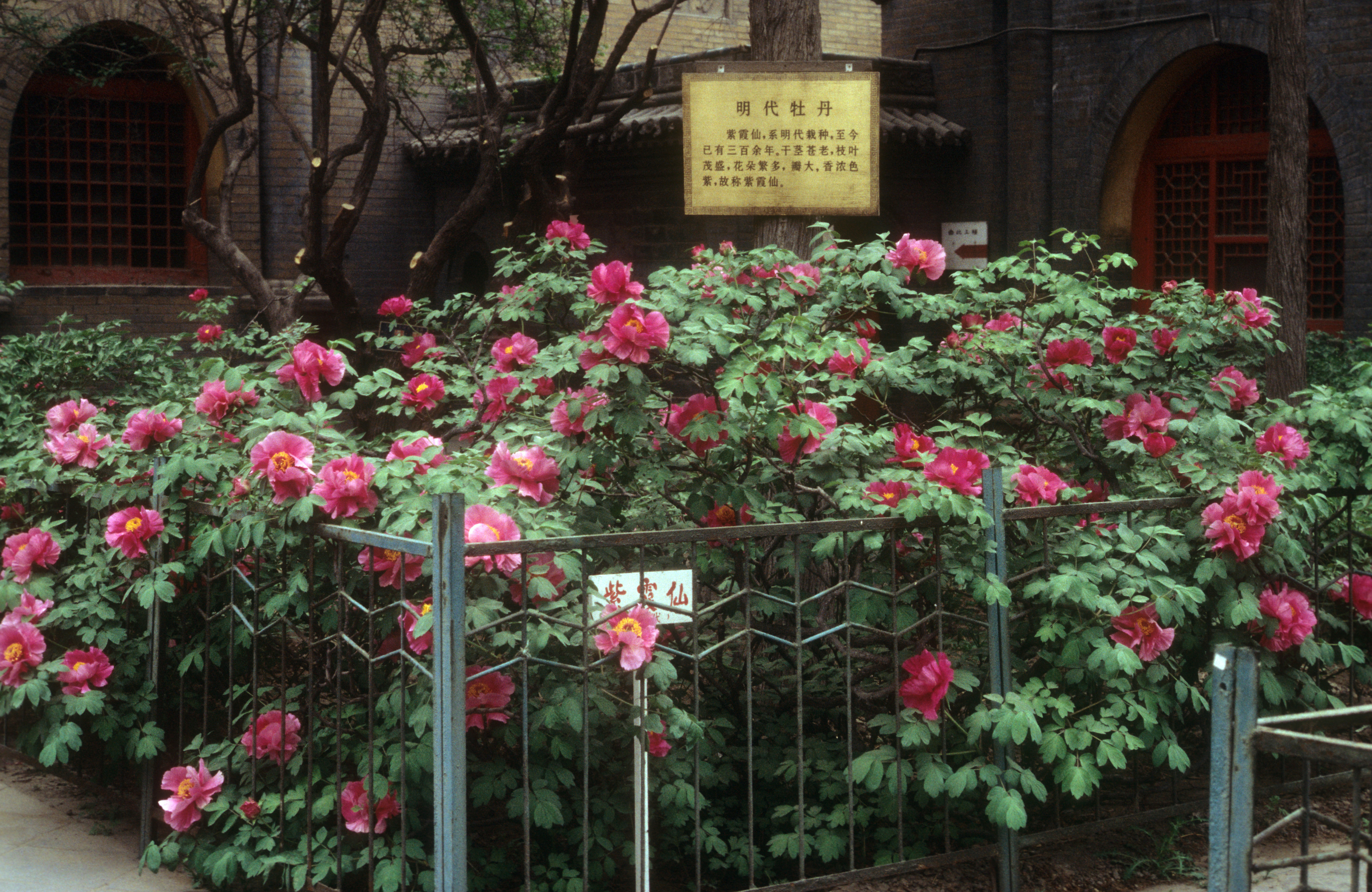 this tree peony was planted over 400 years ago it is 5 tall and 10