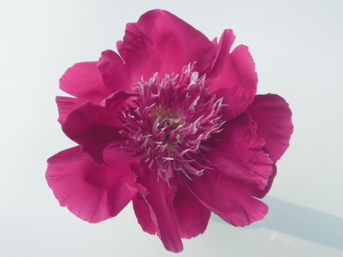 In America, anemone form herbaceous peonies are often referred to as 'Japanese' form, most likely because the first herbaceous peonies to flower in this form were initially imported from Japan.