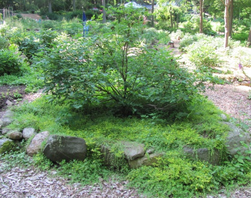 We have had a variety of creeping siedum in the garden for years. It forms a thick mat by early summer and does a good job of smothering other weeds. If it gets too close to the peonies, its easy to pull out and replant in another area of the garden.