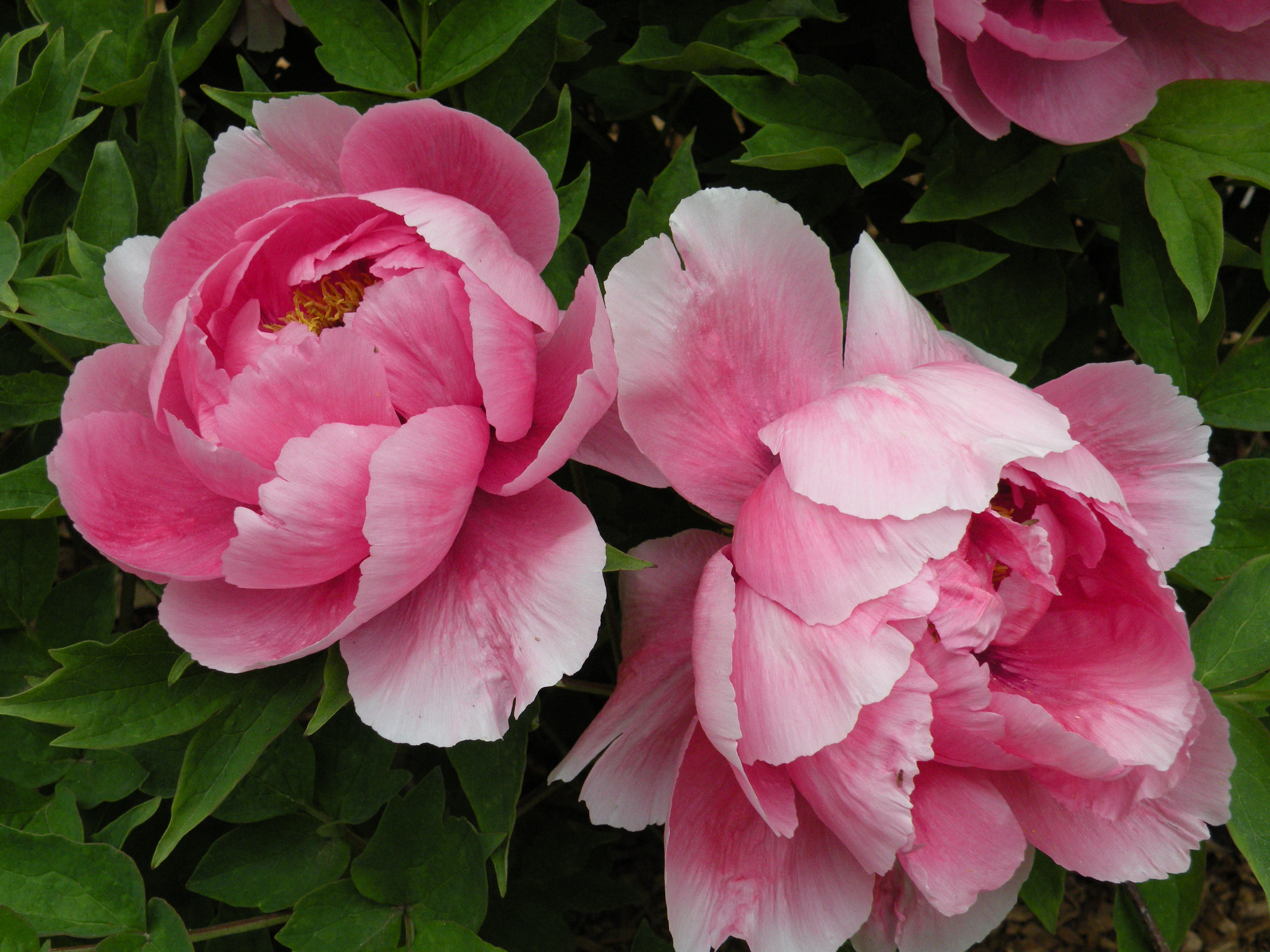 Peonies in Classical Chinese Poetry