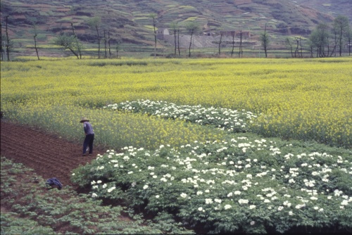 Tree peonies are grown commercially in China for use in traditional Chinese medicine. Here a farmer in Anhui province tends his field planted with the tree peony 'Phoenix White' and rapeseed (Brassica napus).