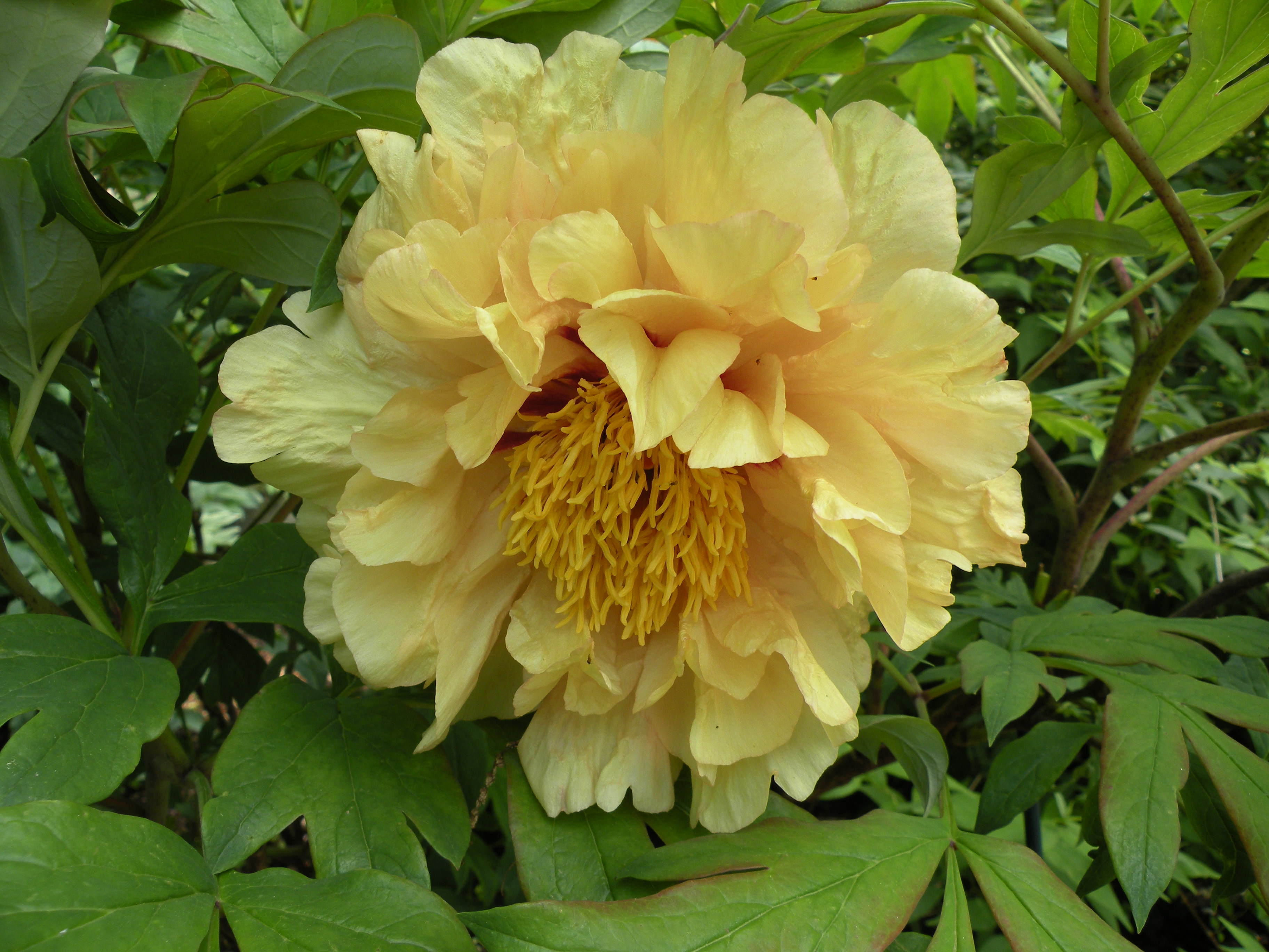 Mid season peony bloom at cricket hill garden 2012 crickethillgarden the less desirable characteristics of many of the lutea hybrids downward facing or nodding flowers a trait inherited from the species p lutea peony mightylinksfo