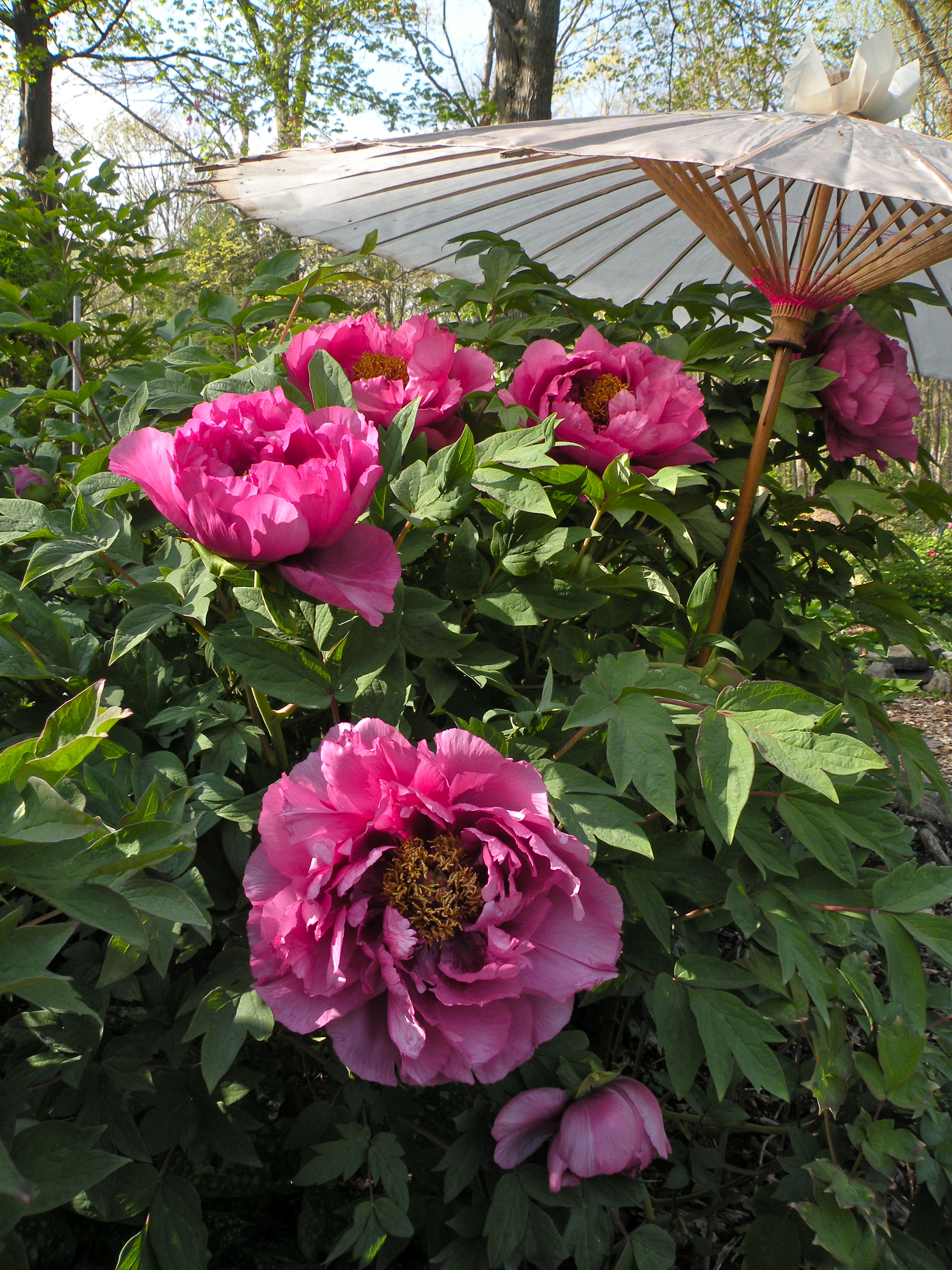 Where to see peonies in bloom crickethillgarden for Garden design fest 2014