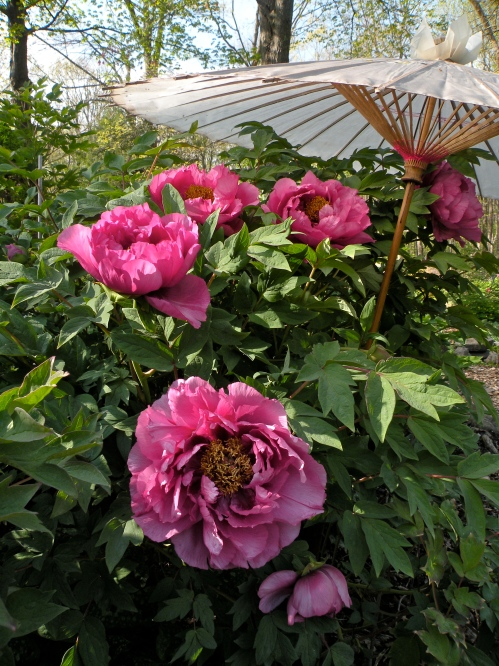 Early Chinese tree peonies and hybrid herbaceous peonies.