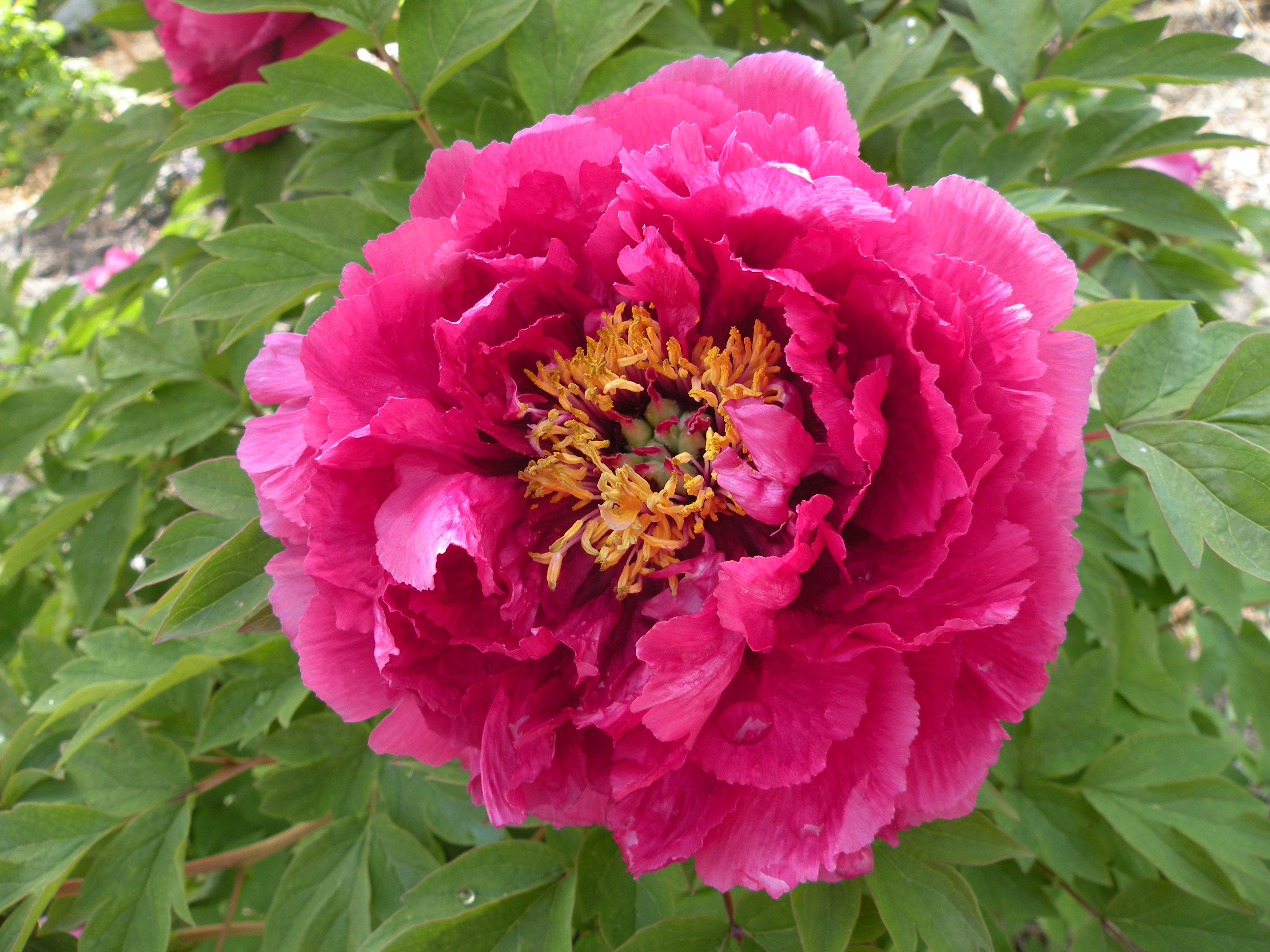 Peony flower forms cricket hill garden luoyang red luoyang hong chinese tree peony nvjuhfo Gallery