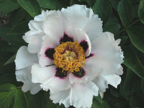 The rockii tree peony 'Snow Lotus' has proven to be a very reiable grower in Texas over the last few drought striken years.