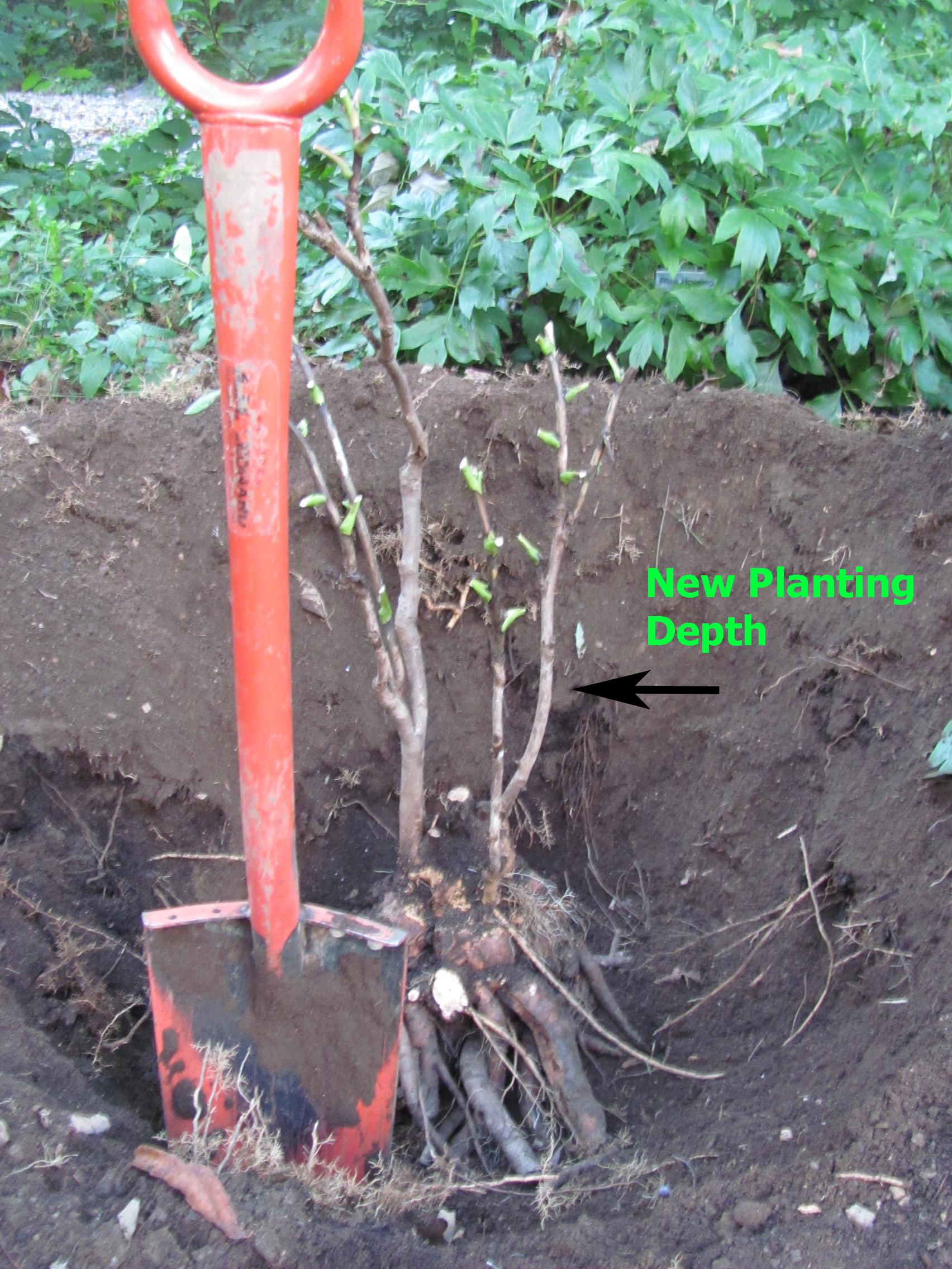 How to Grow Tree Peonies foto