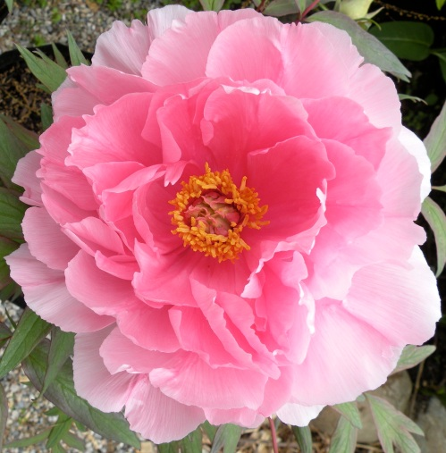 'Eternal Camellias' Yachiyo tsubaki 八千代椿 is a very reliable grower and bloomer.
