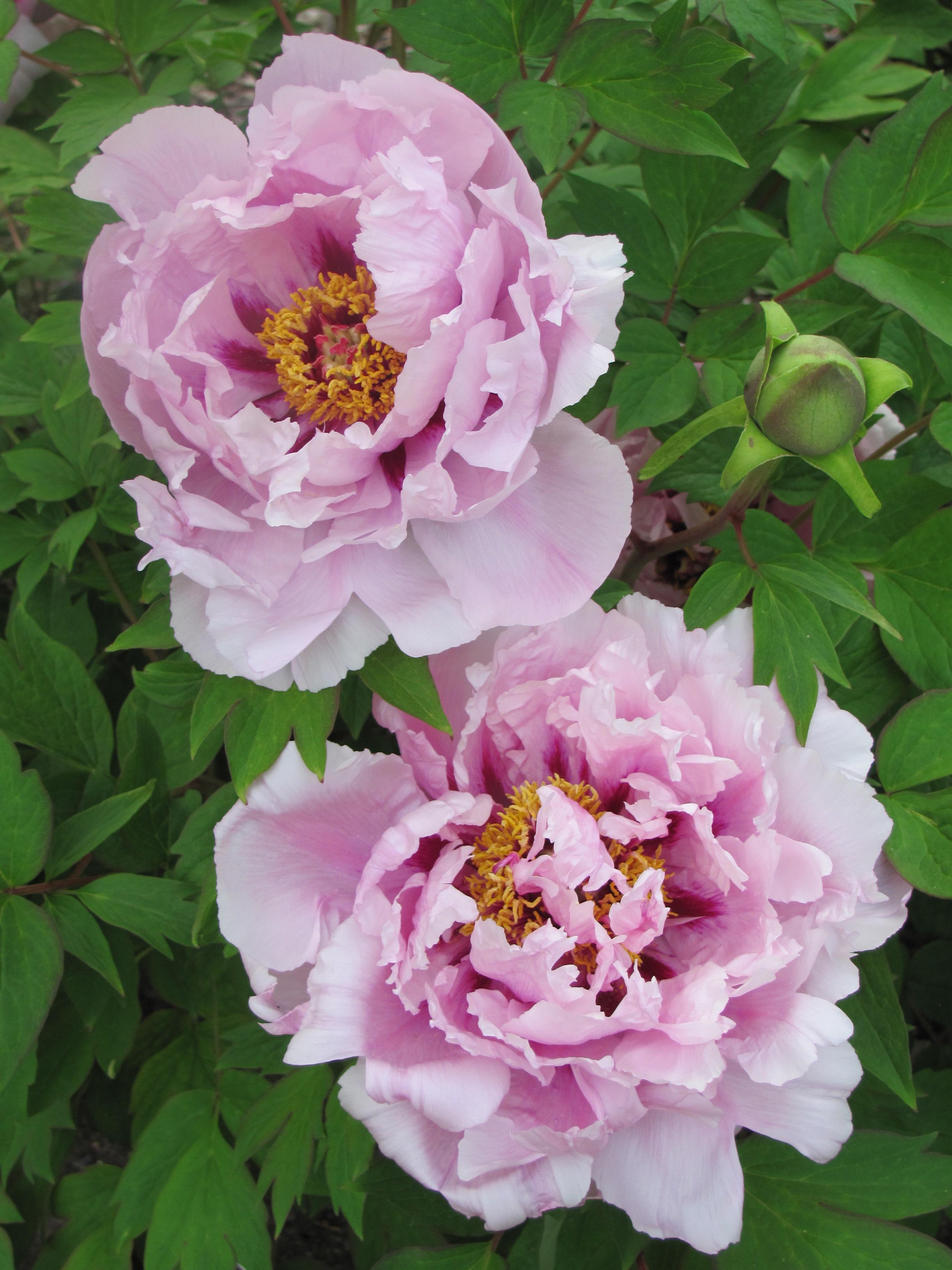 Japanese Peony Poems Cricket Hill Garden