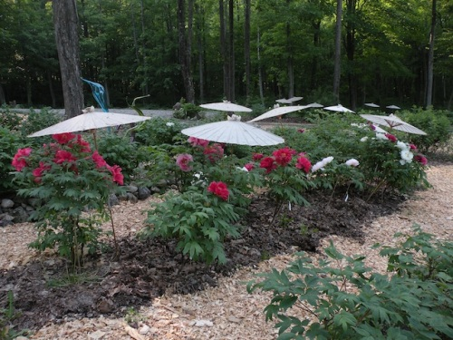 A bed of Japanese tree peonies in full bloom at Cricket Hill Garden.