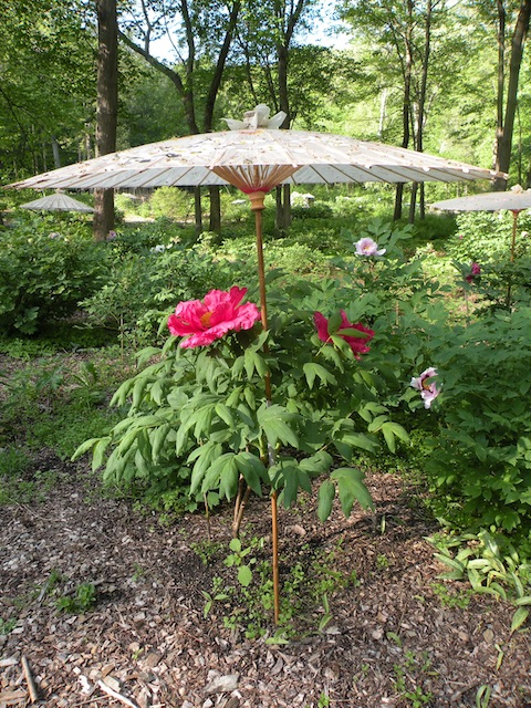 This plant well illustrates the tendency of Japanese tree peonies to grow in a upright, and not bushy, manner.