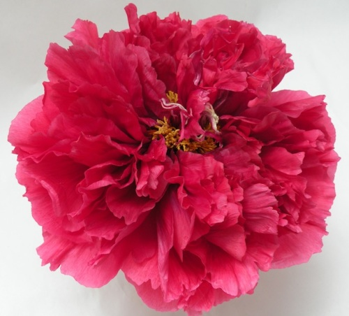'King of Flower' 花王 Kao is a rare Japanese tree peony which blooms in a fully double form.