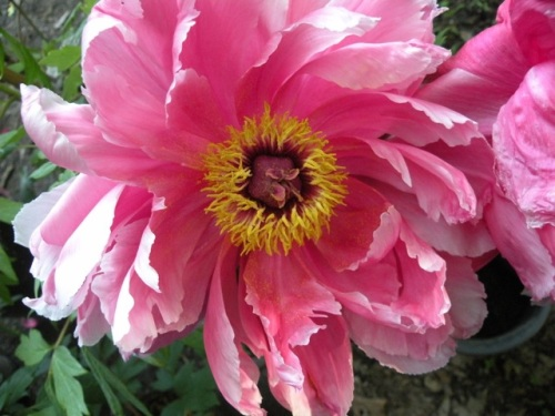 'Seven Gods of Good Fortune' Shin Shichifukujin is one of our most vibrant dark pink Japanese tree peonies.