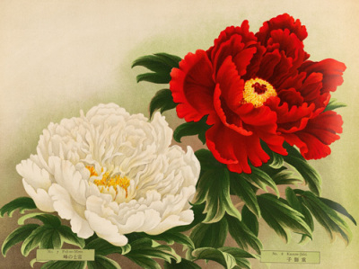 "A close-up from a beautifully printed Yokohama Nursery catalog, circa 1920. The varieties shown are, from left to right, ""Peak of Mt. Fuji"" 富士の峰 Fuji-no-mime ""Peak of Mt. Fuji"" and ""Kasane Lion"" 重ね獅子 Kasane-jishi."