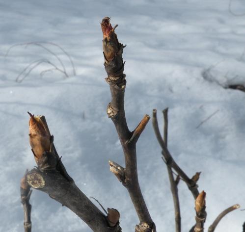 buds awakening