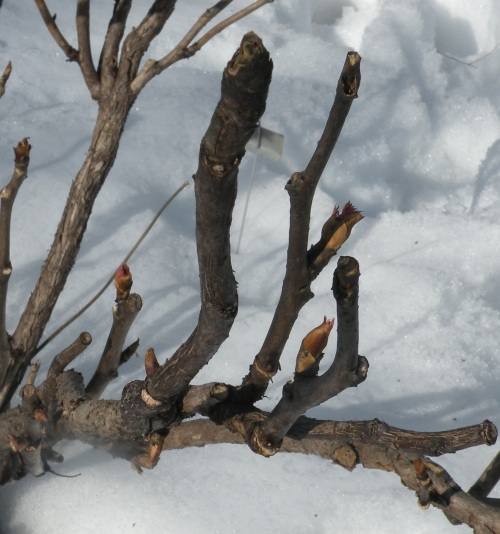 a dead side branch should be cut down to the main branch
