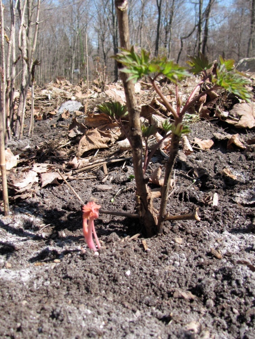 tree peony sprouting