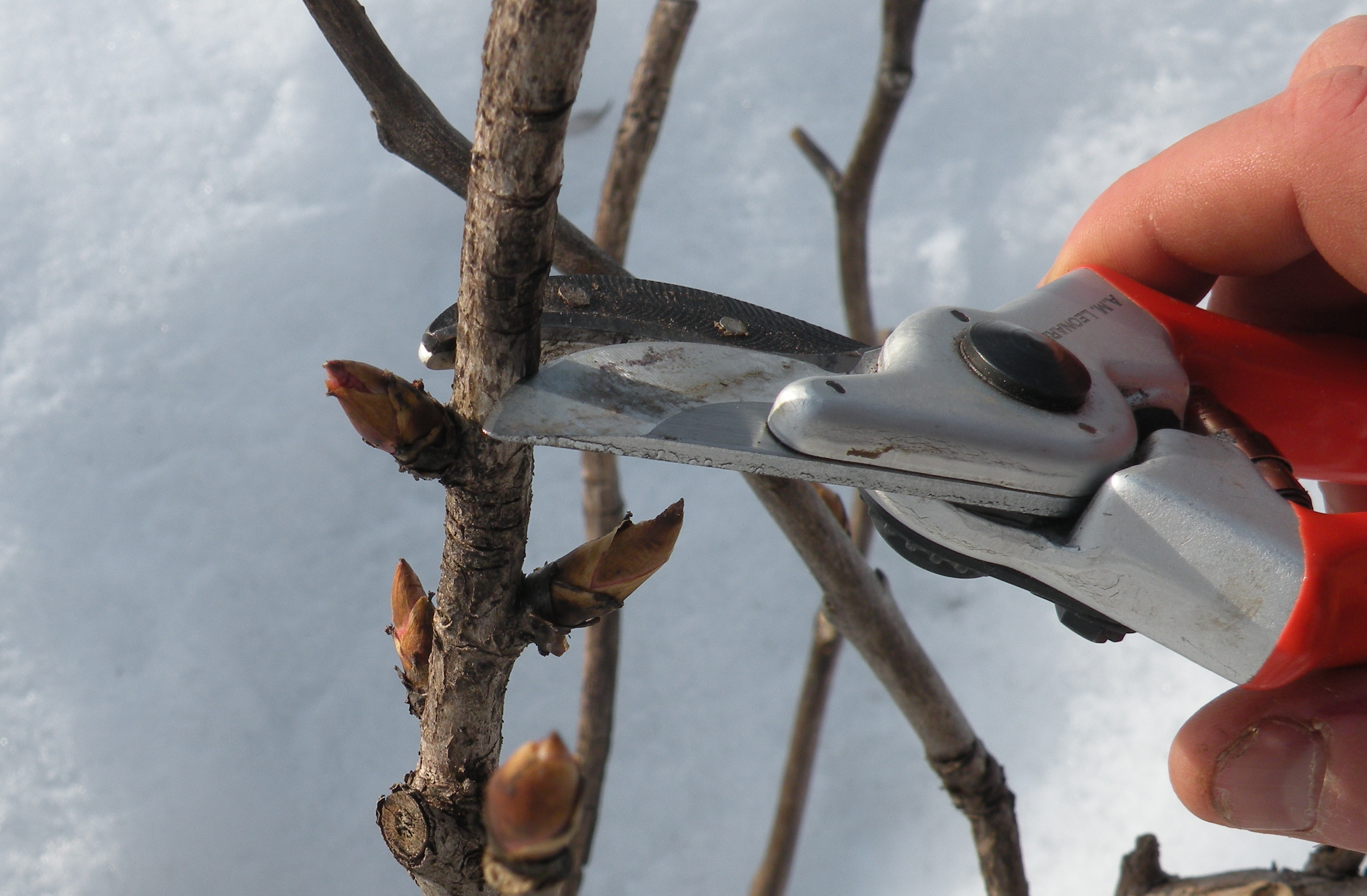 Pruning A Mature Apricot