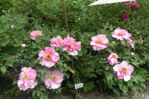 'Apple Gorgious' shrub, flowers blooming in both single and semi-double form.