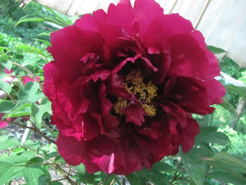 'Coiled Dragon in the Mist' Chinese tree peony