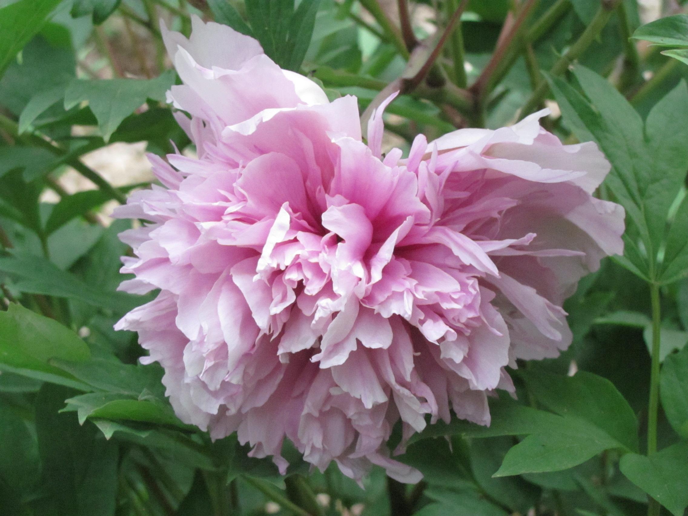 Peony Flower Forms Crickethillgarden