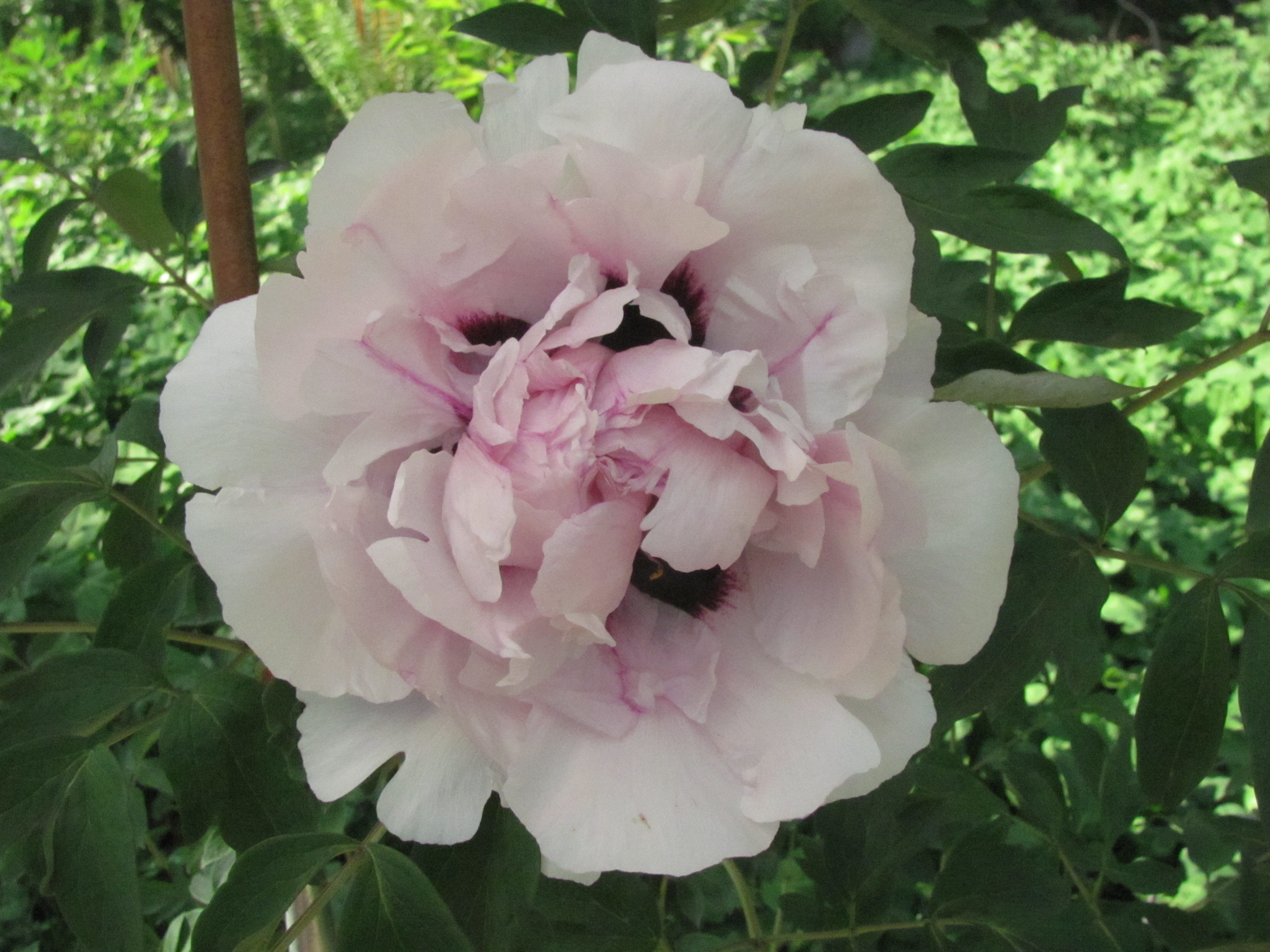 the jade peony sek lung is a marginal The jade peony--sek-lung is a marginal character lung cancer case study determining the longetivity of ecoli's gaining resistance ability: a comparison between the bacteriophage t-4 and antibiotic.