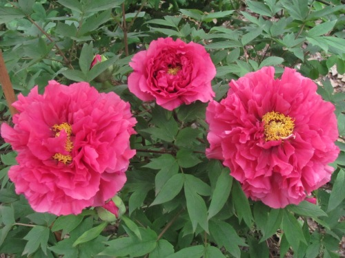 'King of Flowers' Japanese tree peony