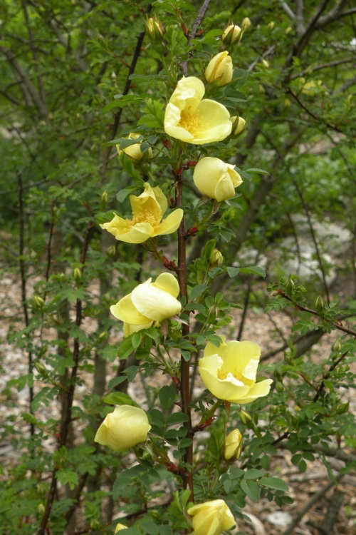 rose xanthina