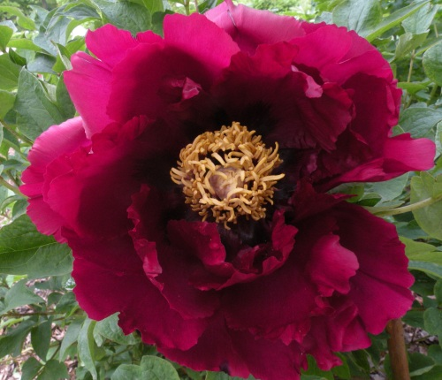 'Shining Black Jade' 墨玉生辉 Mo Yu Sheng Hui This is another later blooming 'black' Chinese tree peony which originates from Heze in Shandong Province.