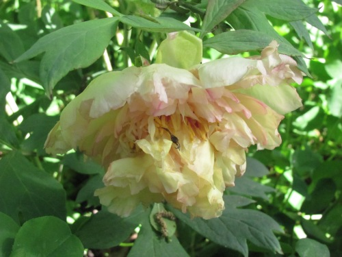 'Chromatella'  (Lemoine 1920). This French tree peony shares a trait common to many of the first generation of Lutea hybrid tree peonies, the lovely flowers are not well supported and face downwards.