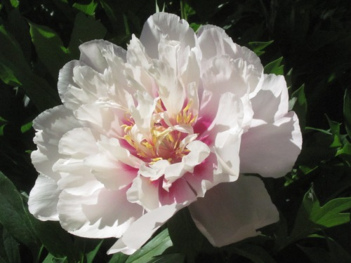'Cora Louise' (Anderson, 1986) A favorite intersectional peony.
