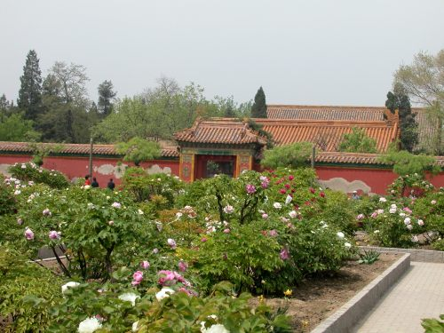 Tree peonies planted in the former imperial gardens in the Forbidden City, Beijing.