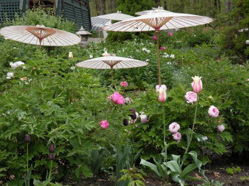 In parts of the garden, we do inter-plant spring bulbs which bloom with the tree peonies.