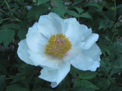 Dusk on the flower Of the white peony, That embraces the moon. Gyodai