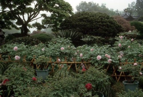In this garden in Hangzhou, China the tree peonies to not face any copetition from companion plantings, thought they are beutifly contasted by the background foliage.