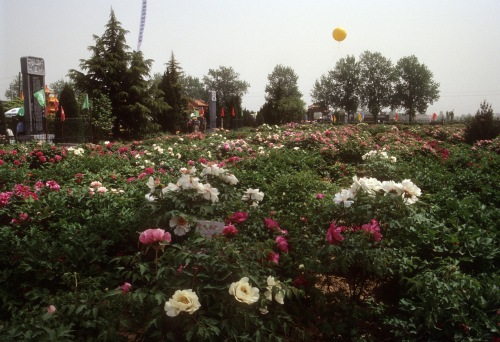 Mass tree peony planting at the Hundred Flowers Garden in Heze, Shandong province, China.