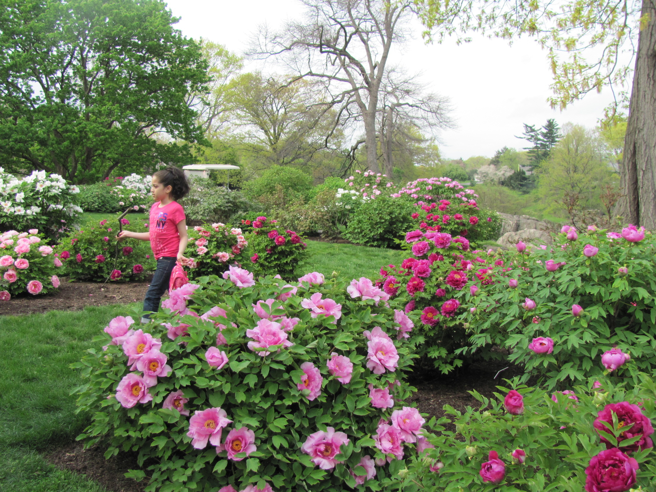 tree peony collection at the new york botanical garden