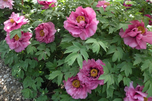 The peonies do not allow The rain-clouds a hundred leagues round To approach them. Buson