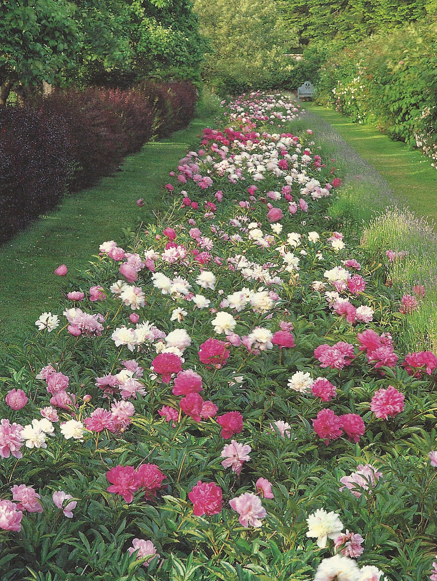 Landscape Design with Peonies | crickethillgarden on full sun garden design, rock garden design, vegetable garden design, formal garden design, butterfly garden design, english garden design, ground cover garden design, grass garden design, flower garden design, desert garden design, lawn garden design, deck design, patio design, fireplace design, living room design, cottage garden design, pergola design, rose garden design, border design, small garden design,
