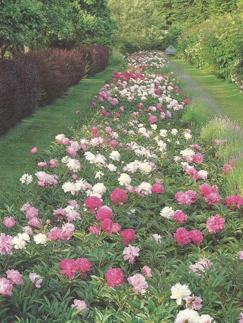 Herbaceous peony border at Penshurst Place, Kent, UK.