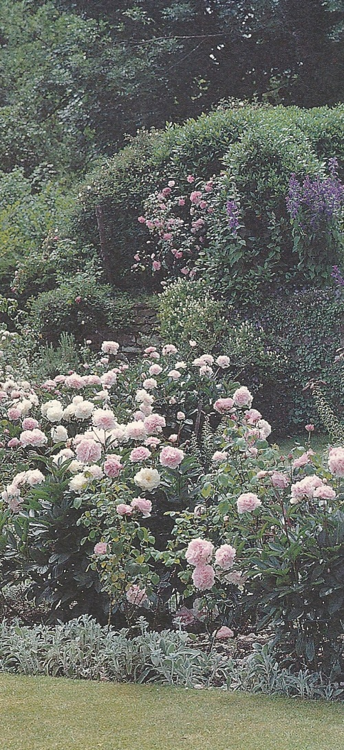 Hebaceous peonies as part of formal English or American garden. Lillies and roses are interplanted and will provide color after the peonies have faded.