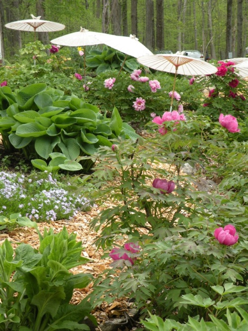 Tree peonies blooming at Cricket Hill Garden. Here we ahve interplanted hosta, and allowed some digitalis to self-seed.