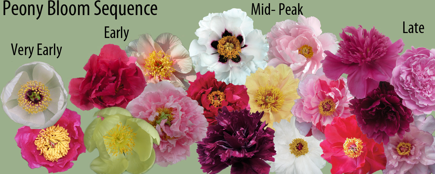 Peony garden design crickethillgarden for Garden and its importance