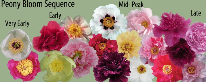 In selecting peonies to add to your garden, its important to know when they will bloom.