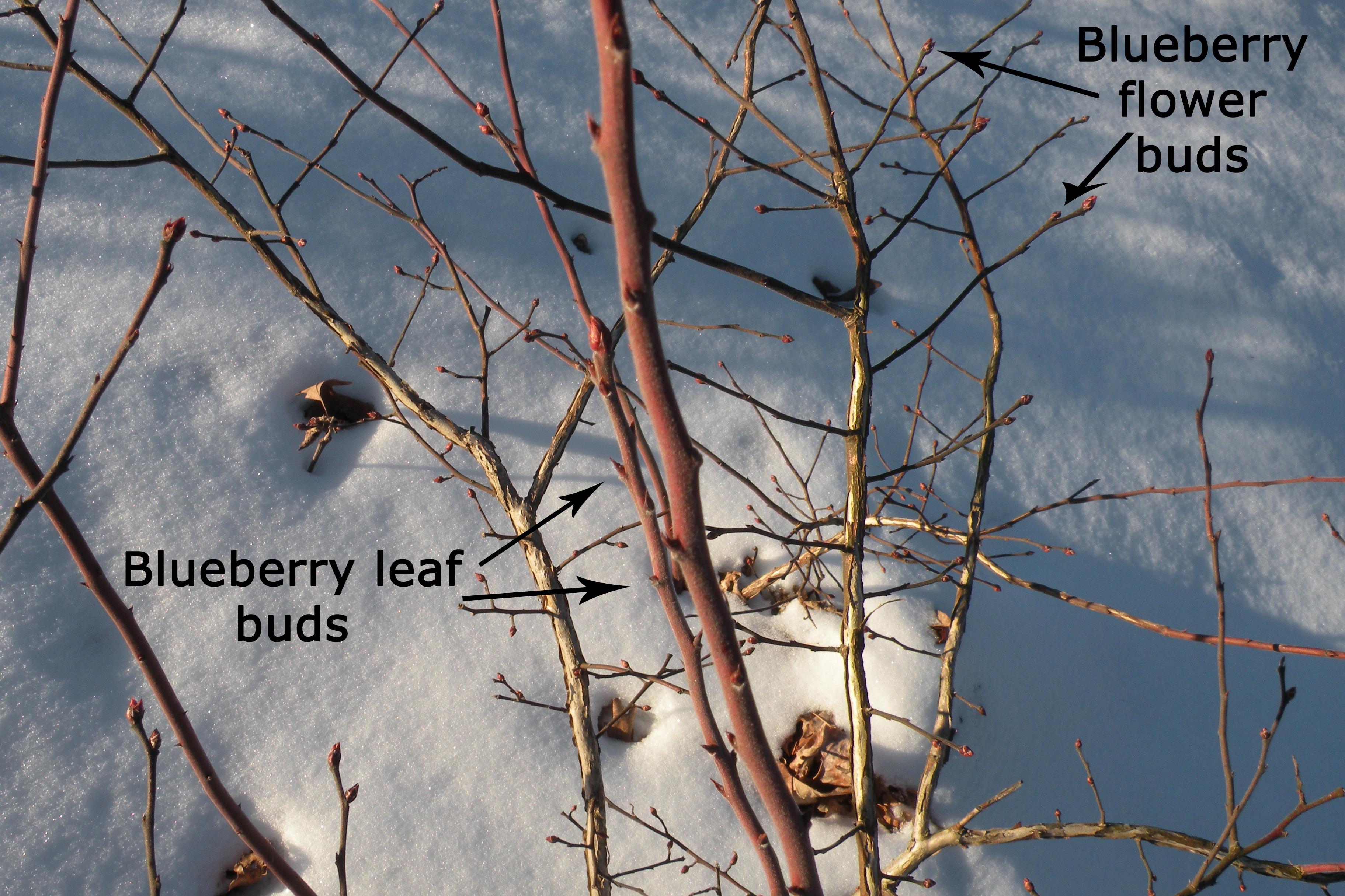 identifying dormant fruit tree buds