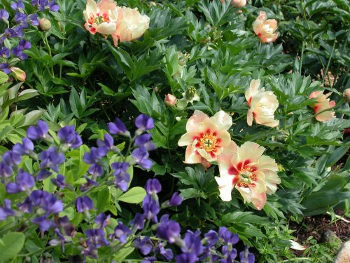 Intersectional peonies offer an array of desirable characteristics to the garden designer.
