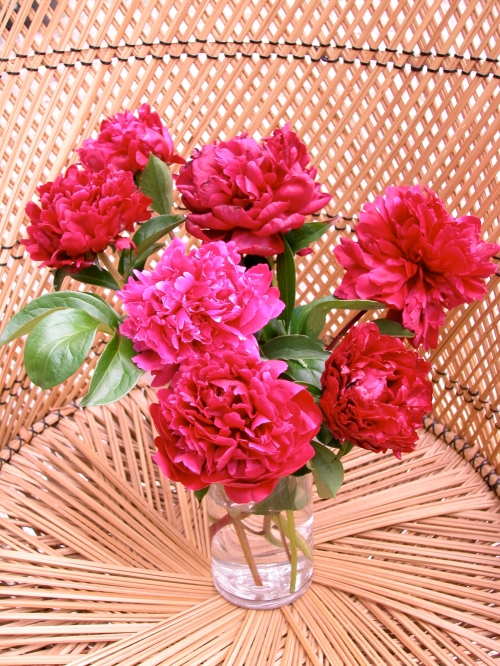 Devoting an area of the peony garden for cutting is a way to enjoy the luxerious double blossoms of the late season peonies without having to worry about them being ruined by the rain.