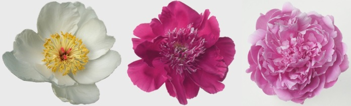 Like tree peonies, herbaceous peony blossoms come in a wide variety of forms.