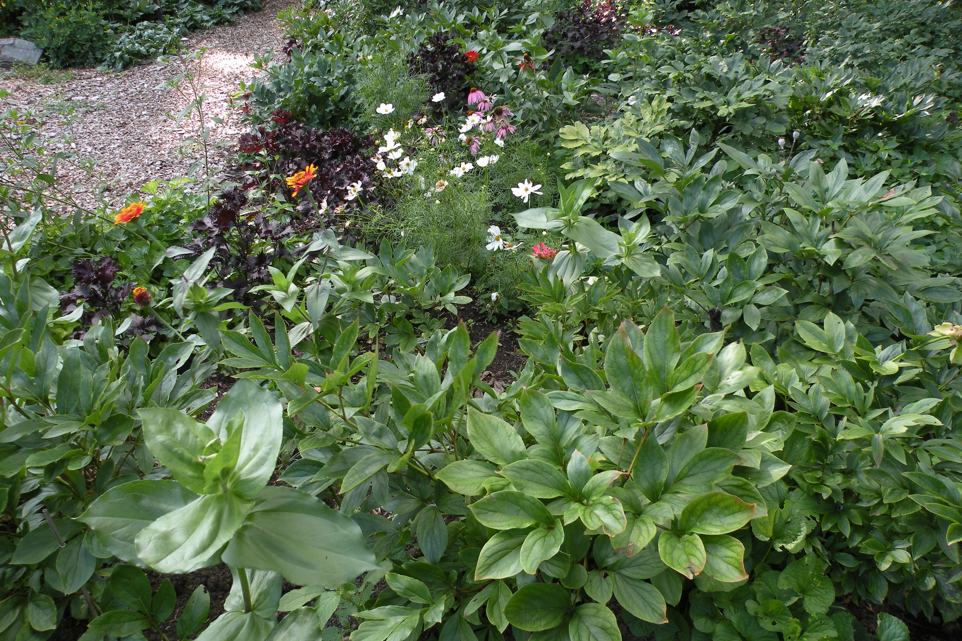 After The Bloom Herbaceous Peony Foliage Provide A