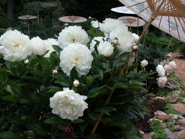 Peonies in art and poetry crickethillgarden peonies at dusk white peonies blooming along the porch send out light while the rest of mightylinksfo Image collections